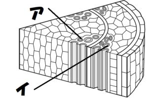 茎の師管と道管