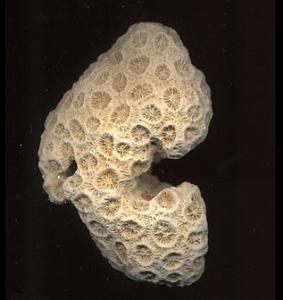 サンゴの化石の写真