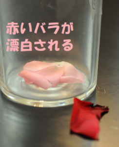 赤いバラが漂白される
