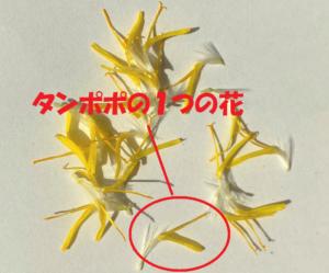 これがタンポポの1つの花