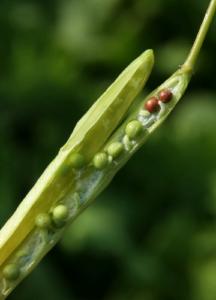 アブラナの種子