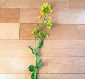 アブラナの花の写真