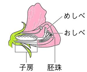 エンドウのめしべのイラスト