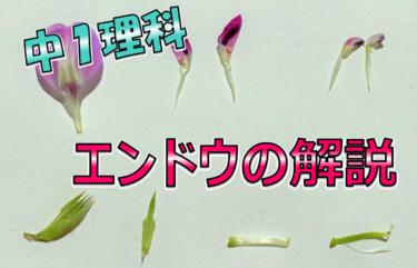 エンドウの花のつくり