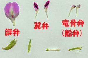 エンドウの花弁の名前