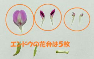 エンドウの花弁の数は5枚