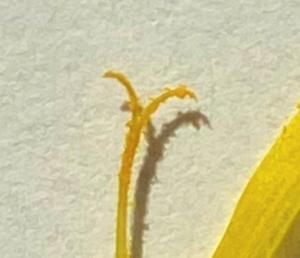 タンポポの受粉