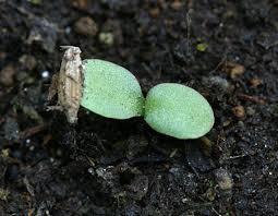 タンポポの子葉は2枚