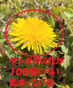 タンポポの花の集まり