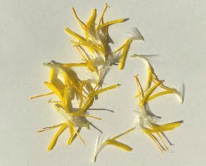 タンポポの1つの花がたくさん取れる