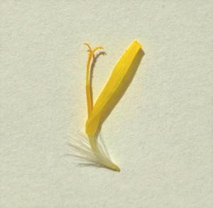 タンポポの1つの花の写真