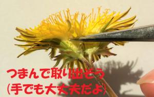 タンポポの1つの花を取り出す