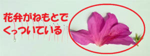 ツツジの花弁2