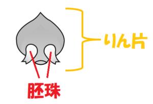 マツの胚珠のイラスト