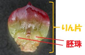 マツの胚珠の写真