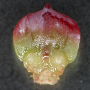 マツの雌花の鱗片の写真
