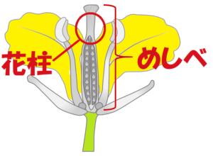 花柱のイラスト