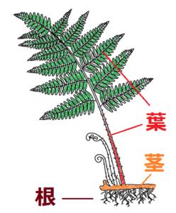 イヌワラビの根・茎・葉