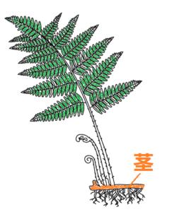 イヌワラビの茎