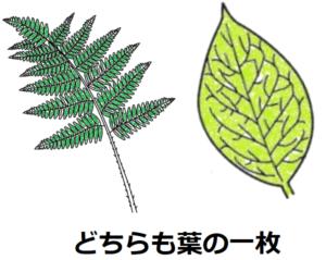 イヌワラビの葉の一枚