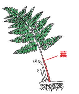 イヌワラビの葉