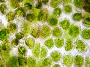 コケの葉緑体