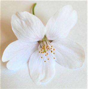 サクラの1つの花
