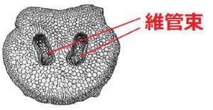 シダ植物の維管束