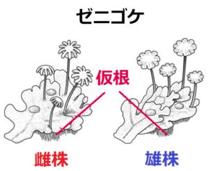ゼニゴケの仮根