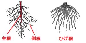 主根、側根、ひげ根
