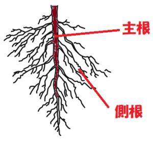 主根と側根2