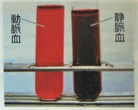 動脈血と静脈血の写真