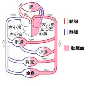 動脈血の画像
