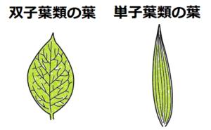 単子葉類と双子葉類の葉脈