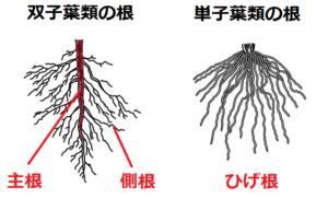 双子葉類と単子葉類の根のつくり