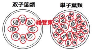 双子葉類と単子葉類の維管束