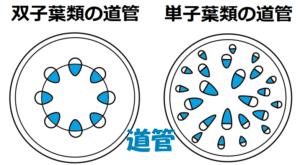 双子葉類の道管・単子葉類の道管