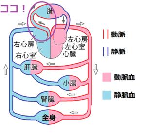 肺動脈に静脈血が流れている