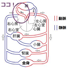 肺動脈の位置