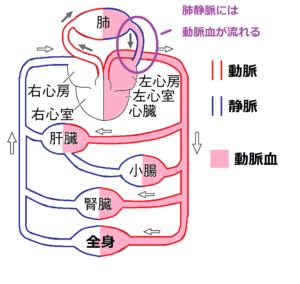 肺静脈に動脈血が流れている2