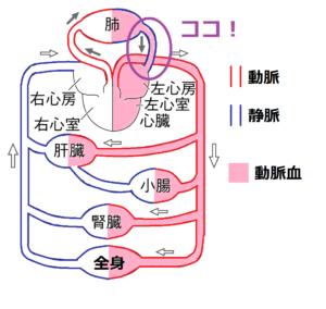 肺静脈に動脈血が流れている
