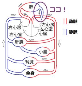 肺静脈の位置