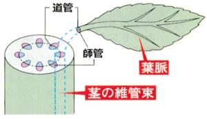 茎と葉のつながり