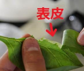 葉の表皮の写真