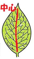 葉脈の中心
