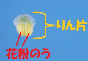 雄花のりん片1