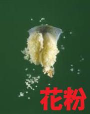雄花のりん片2