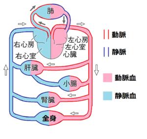 静脈血の画像