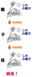 しわの種子の純系