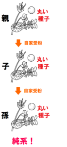 丸い種子の純系